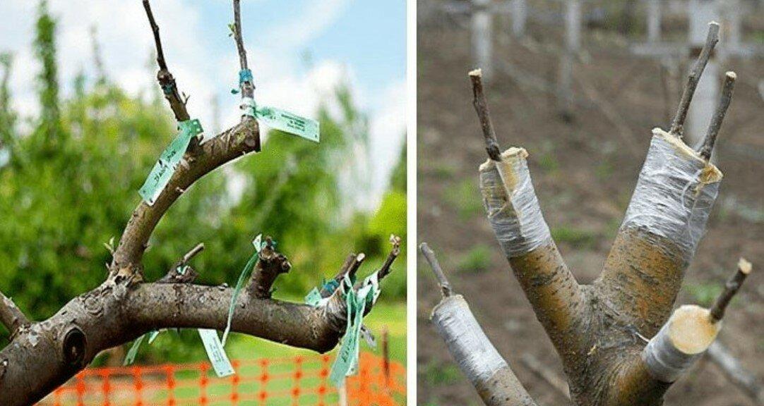 как привить яблоню весной пошагово фото друзьями