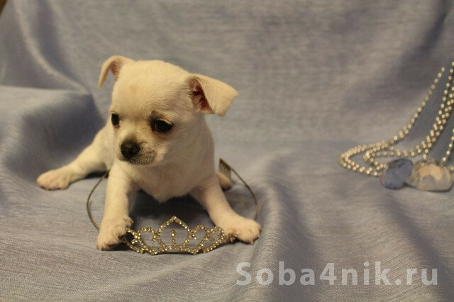Купить щенка чихуахуа