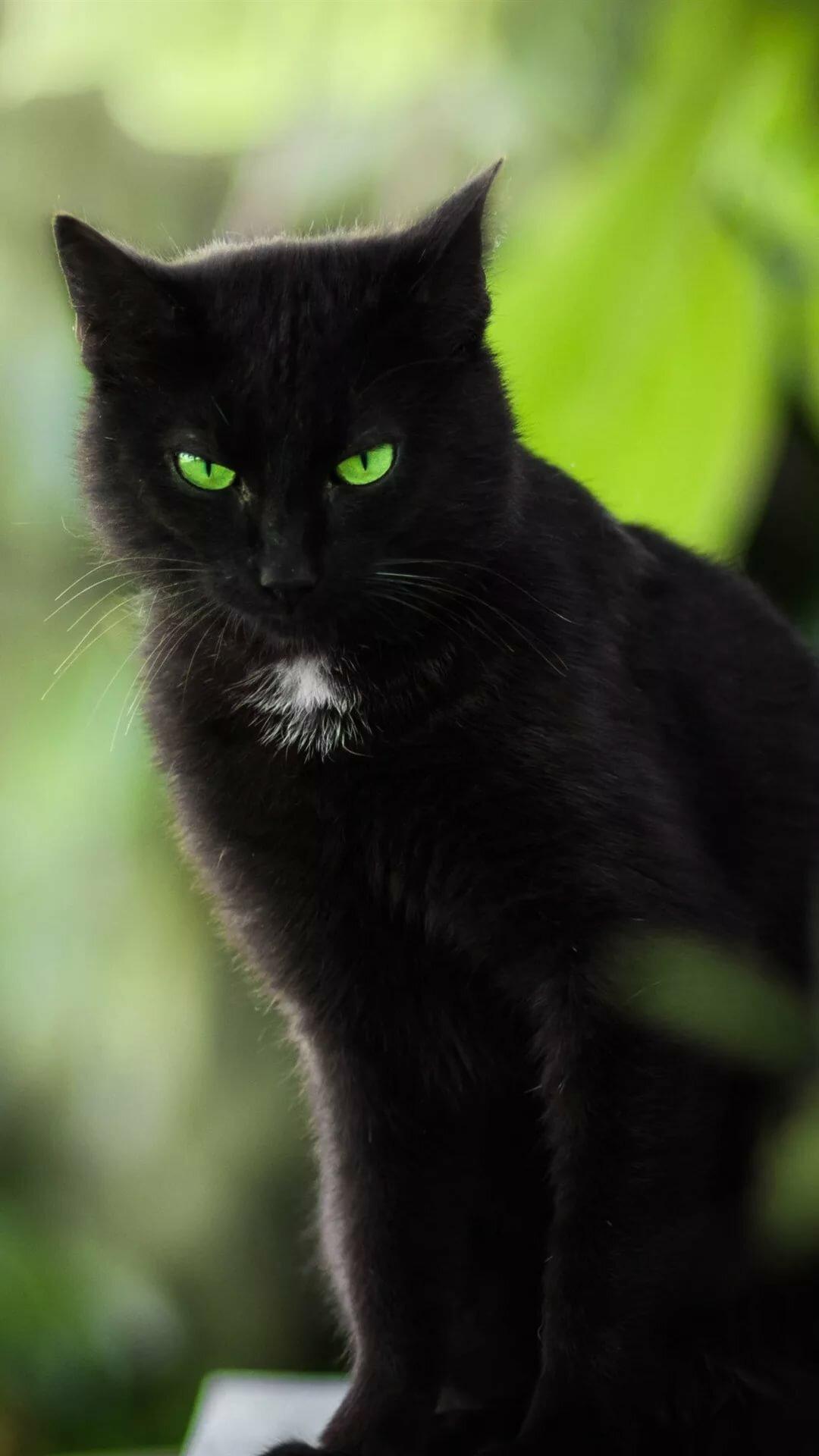 картинки черный кот с зелеными майя один любимых