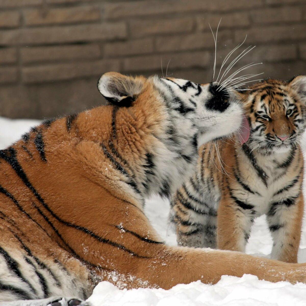 Кошки в картинках тигры