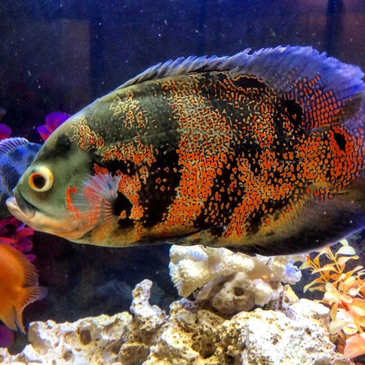 аквариумные рыбки остроносы картинки один