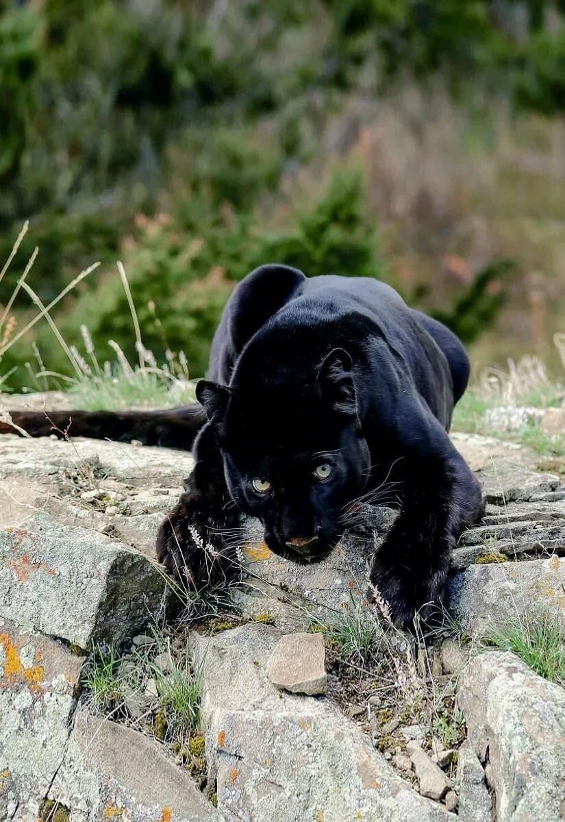 Картинки маленькой пантера