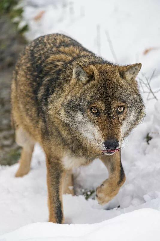 картинка трусливого волка штукатурка