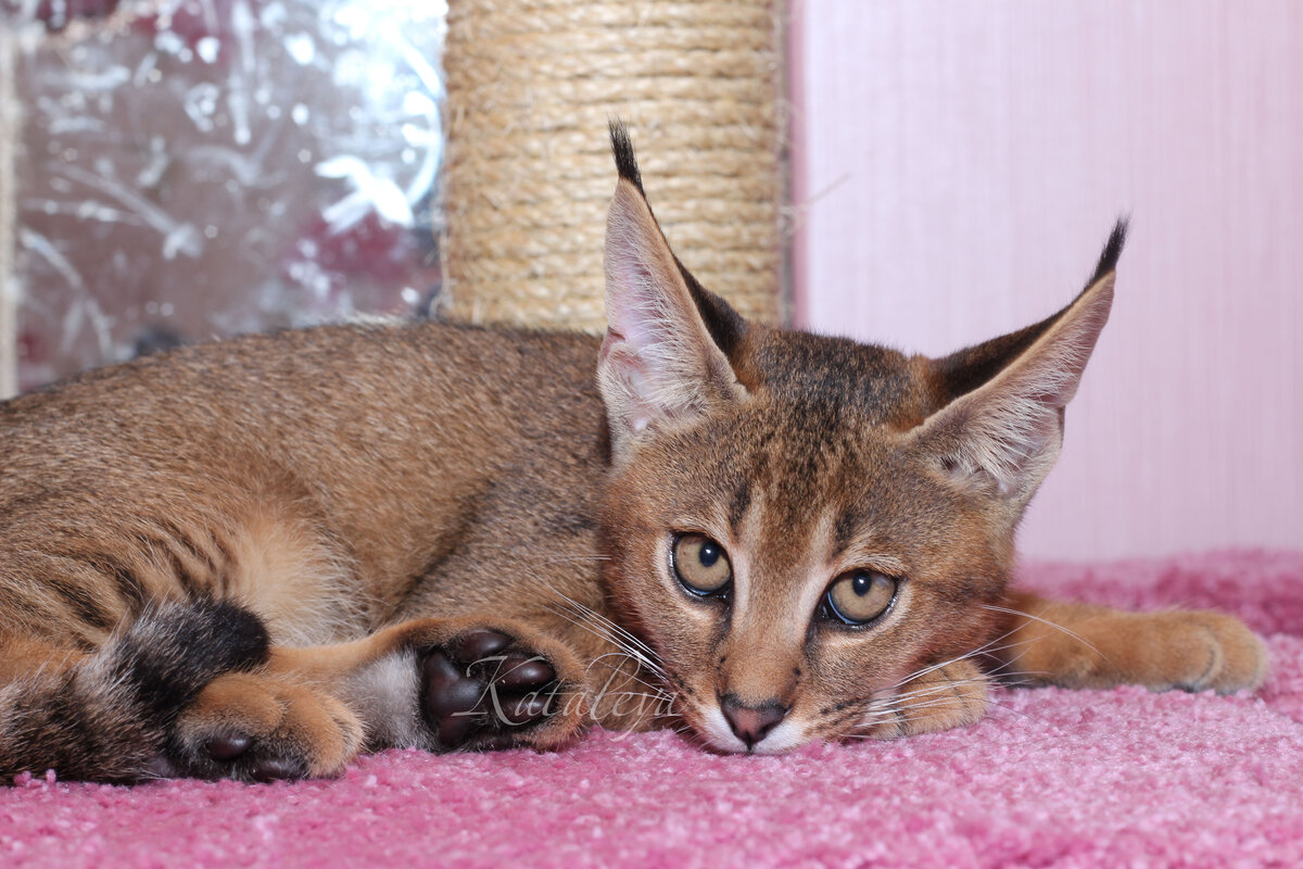 Картинки редких кошек и их название