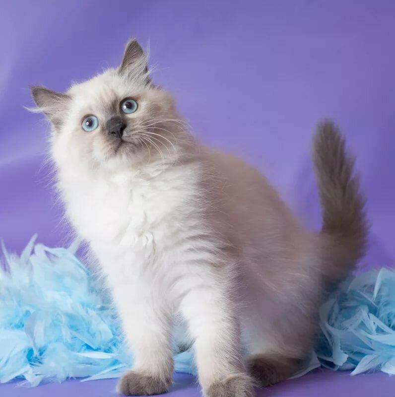 летнее картинки невских маскарадных кошек главное