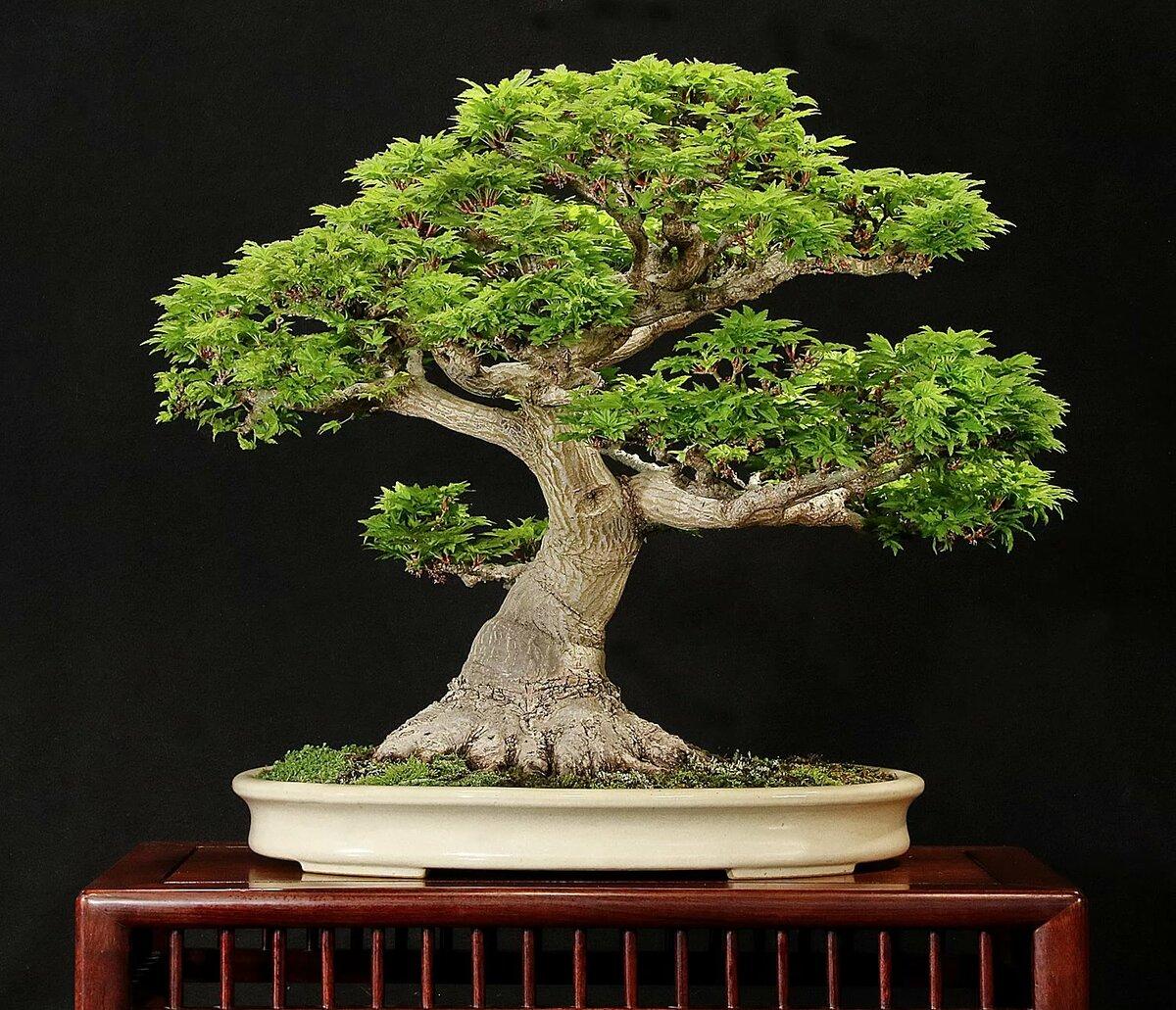 Бонсай дерево картинка