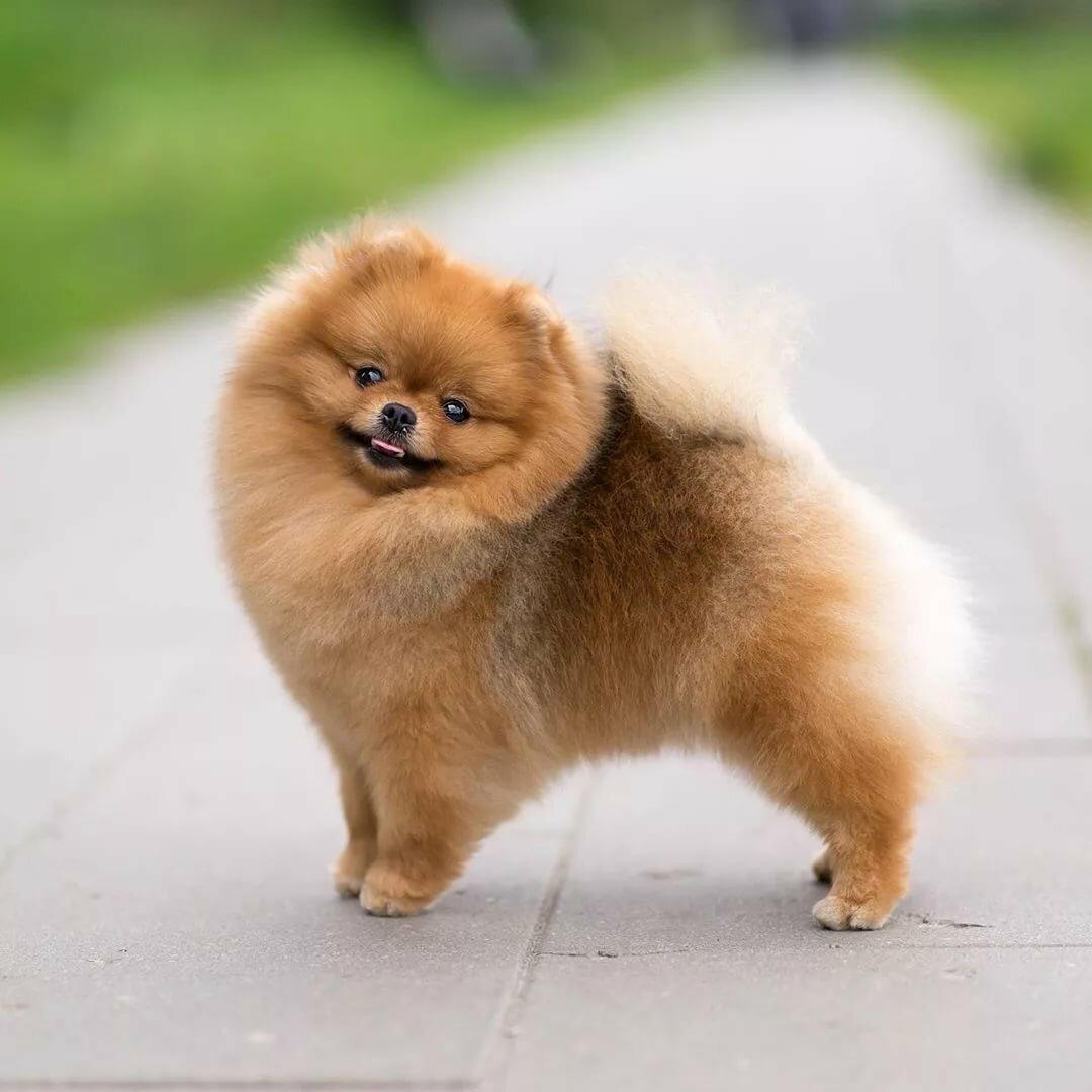 покажите фото собаки шпиц время, предлагать