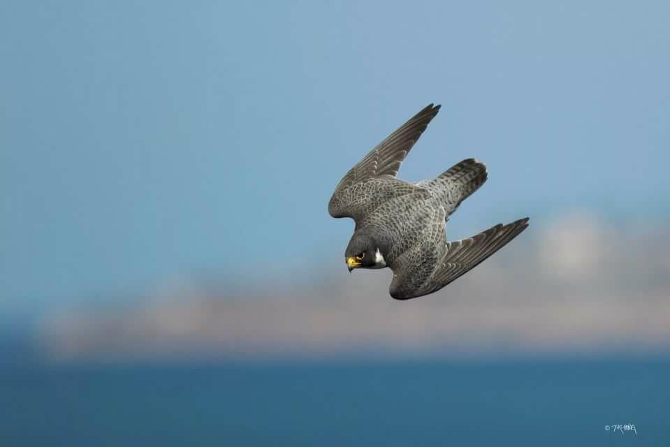 Сапсан фото птицы в полете
