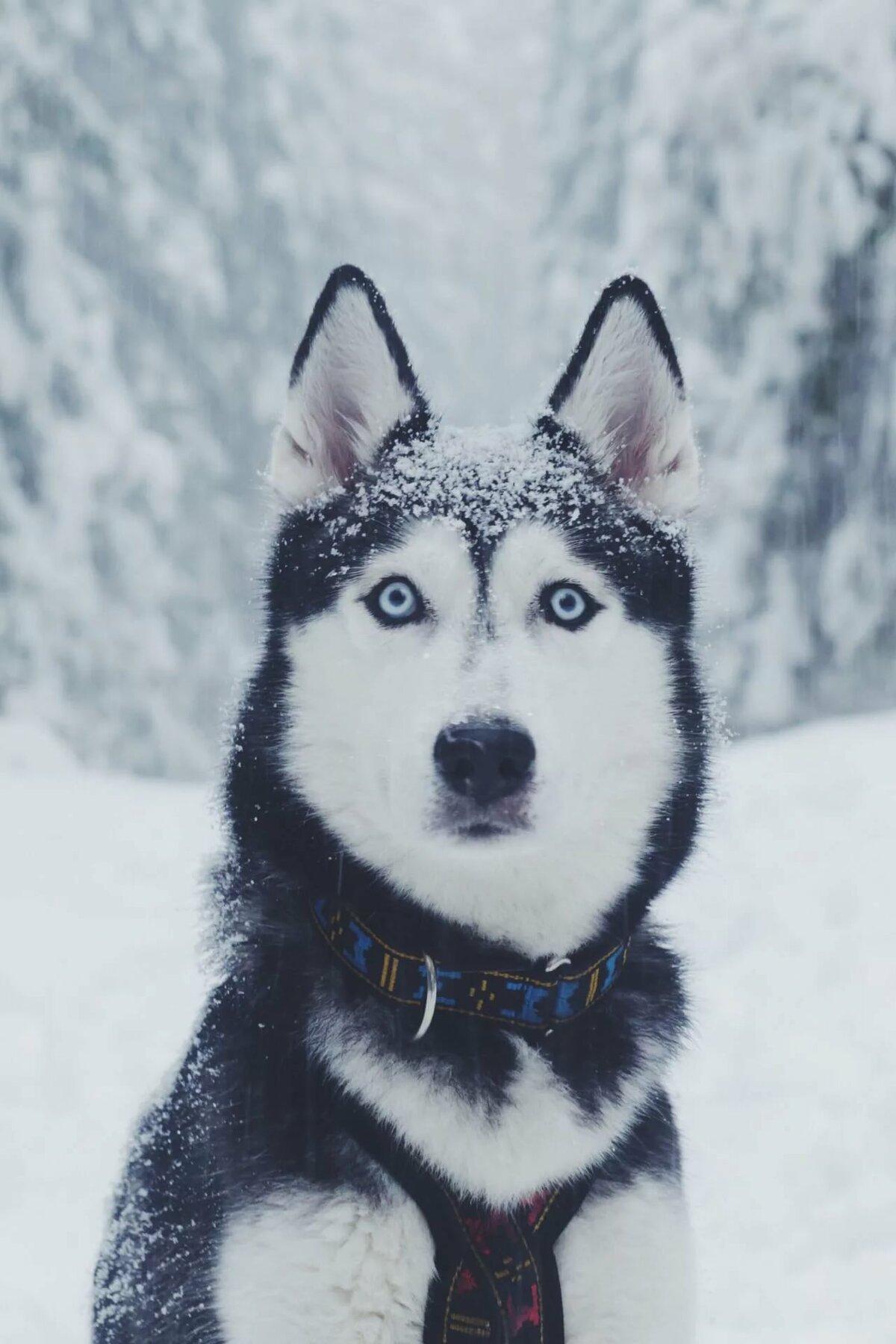 Крутые картинки собак хаски