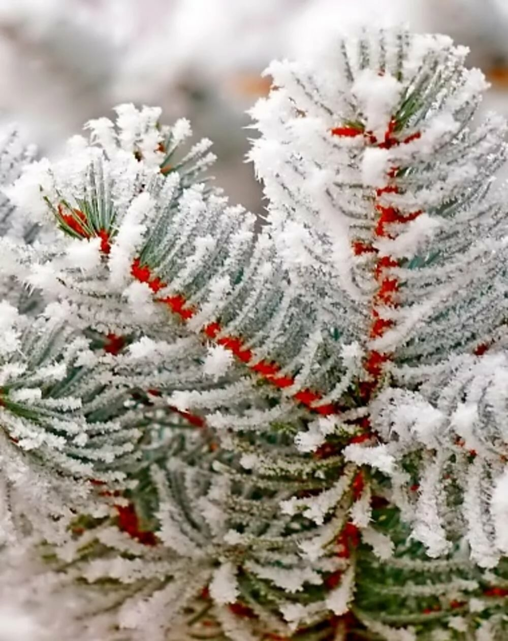 Елочка с снегом картинки