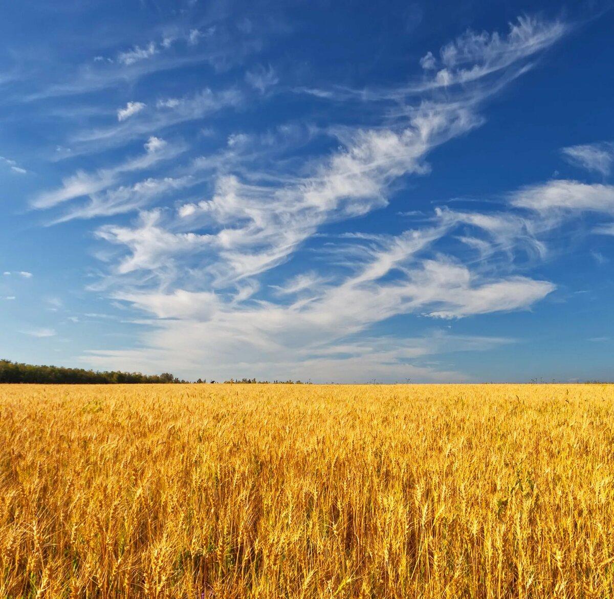 краудфандинг фото пшеничного поля и синего неба про устрашающий