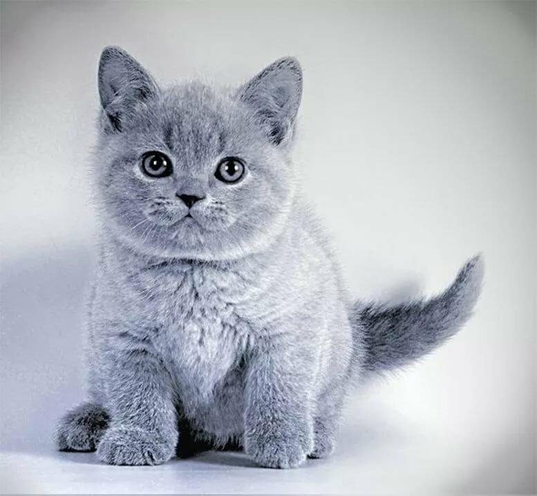 нас, распечатать фото кошки этой стрижки является