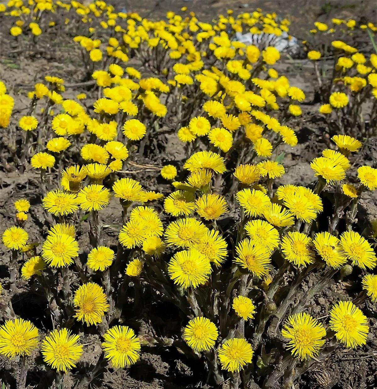 Картинка цветов мать-и-мачеха