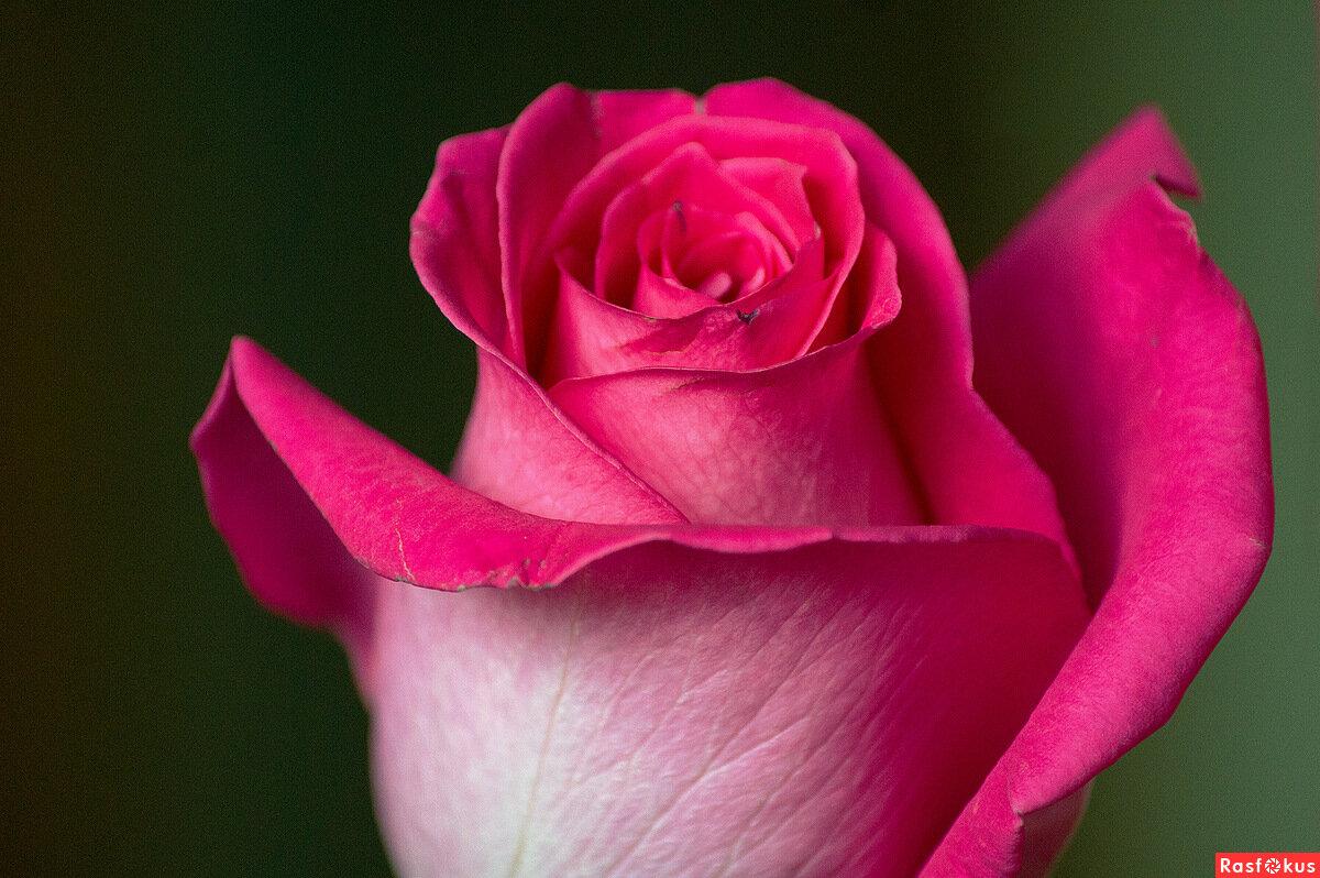 Ирине розы картинки