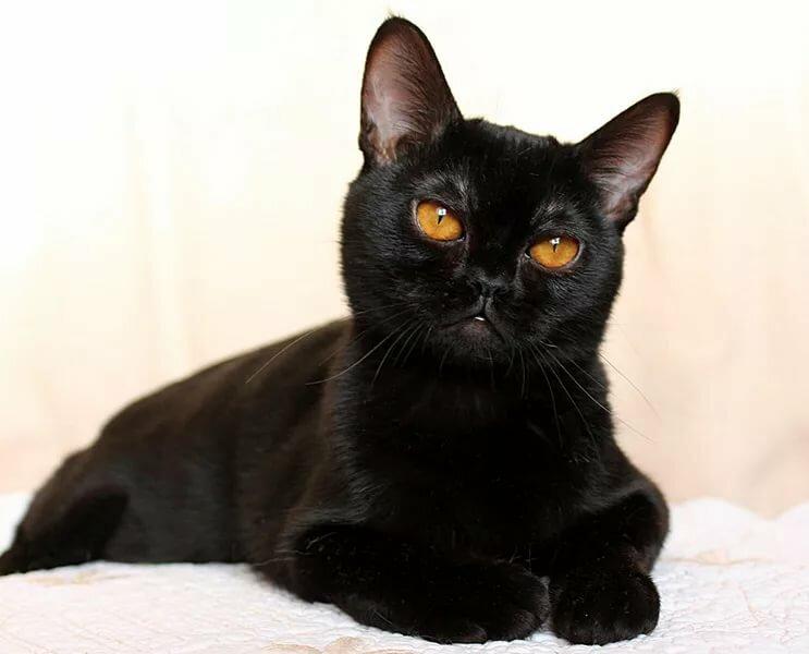 черные коты порода туфли-мечта