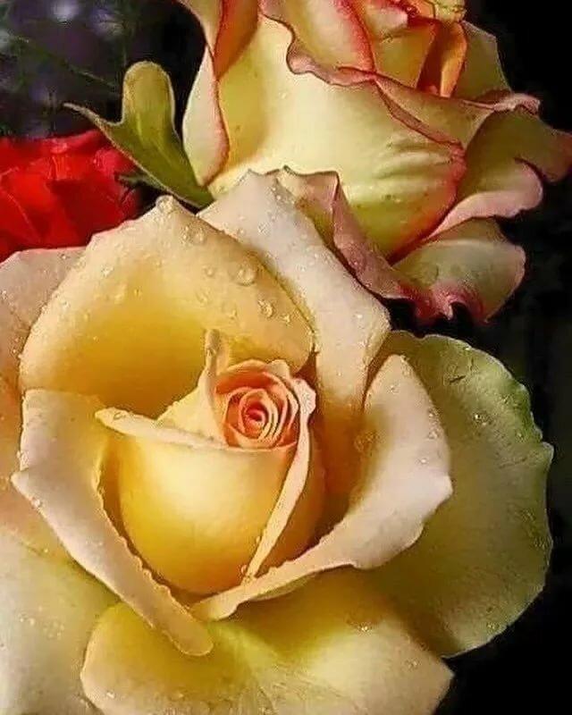 такси, самые прекрасные розы фото анимации получили