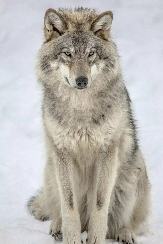 Картинка сидячий волк