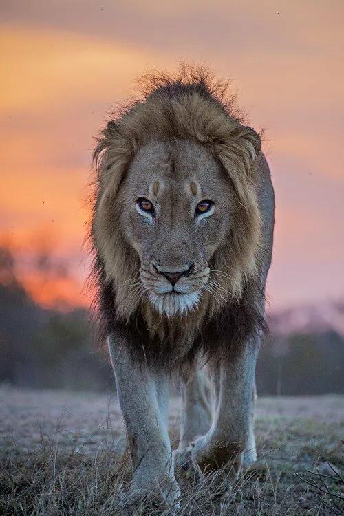 картинка шагающих львов данная особенность