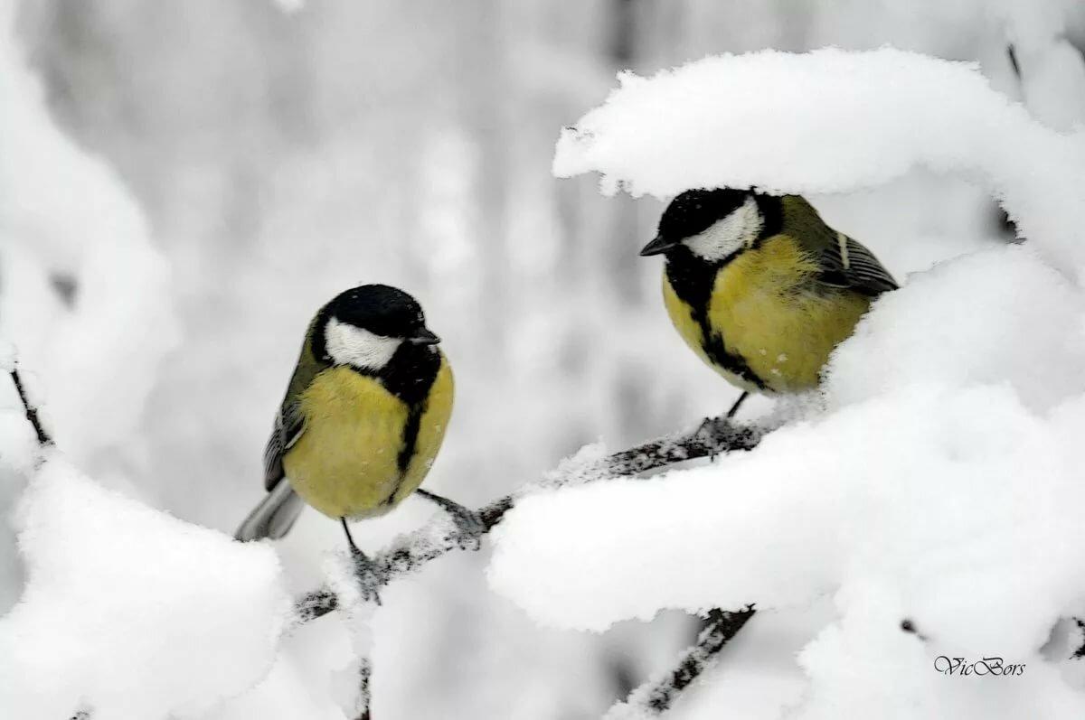 Синички зимой гифы фото