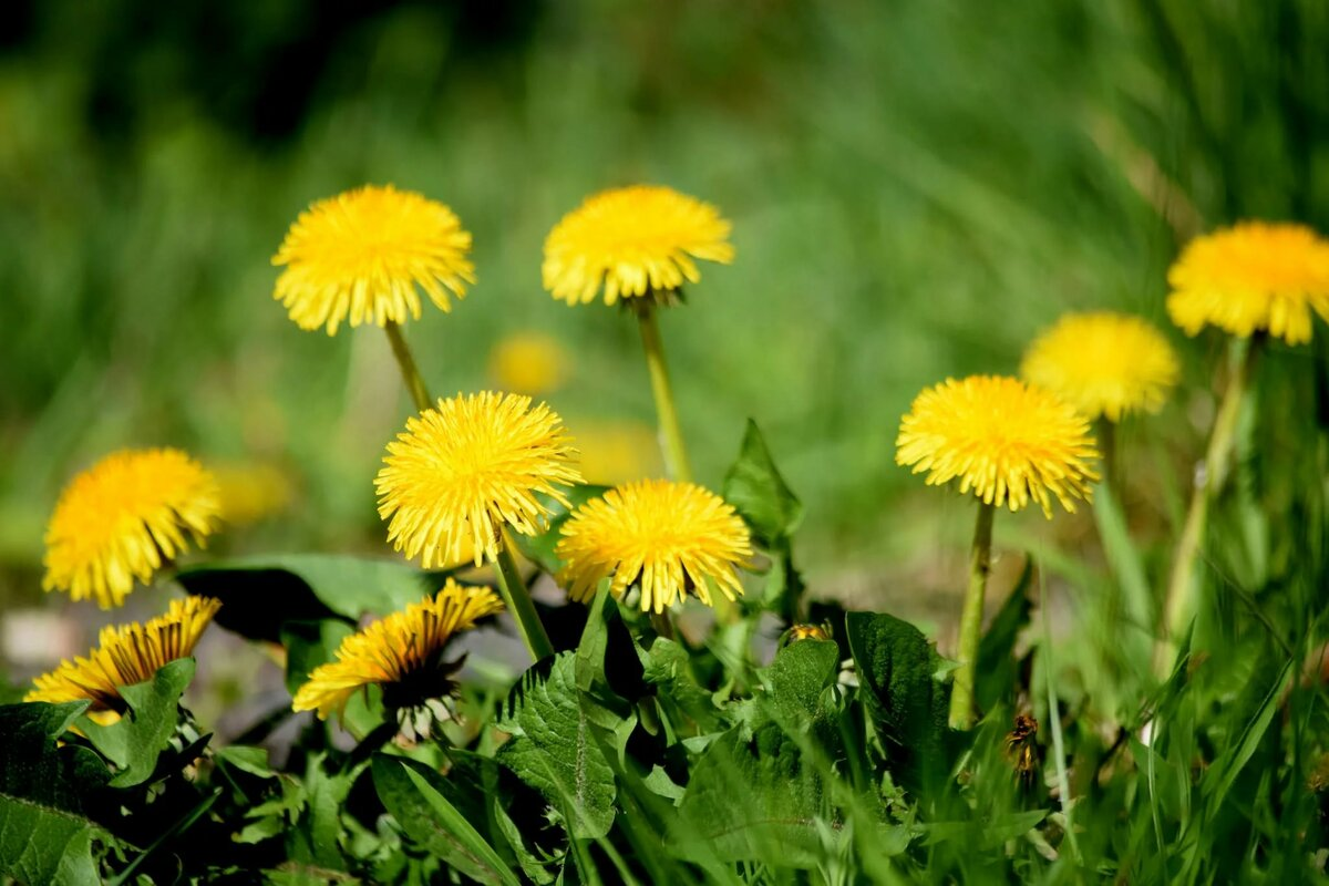 Одуванчик фото картинки желтый