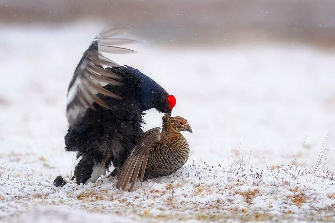 сткеклопакетов, тетерев фото птицы самка и самец дарья
