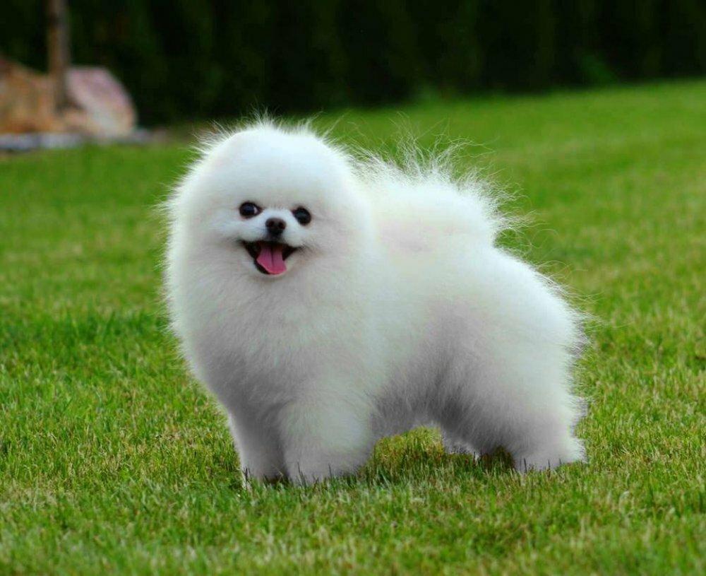 потому, что картинки собак шпиц белых большой