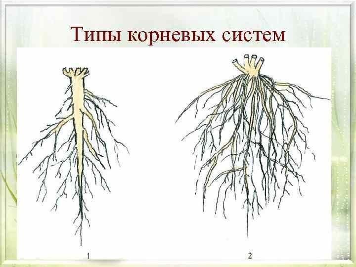 Картинки схемы корней