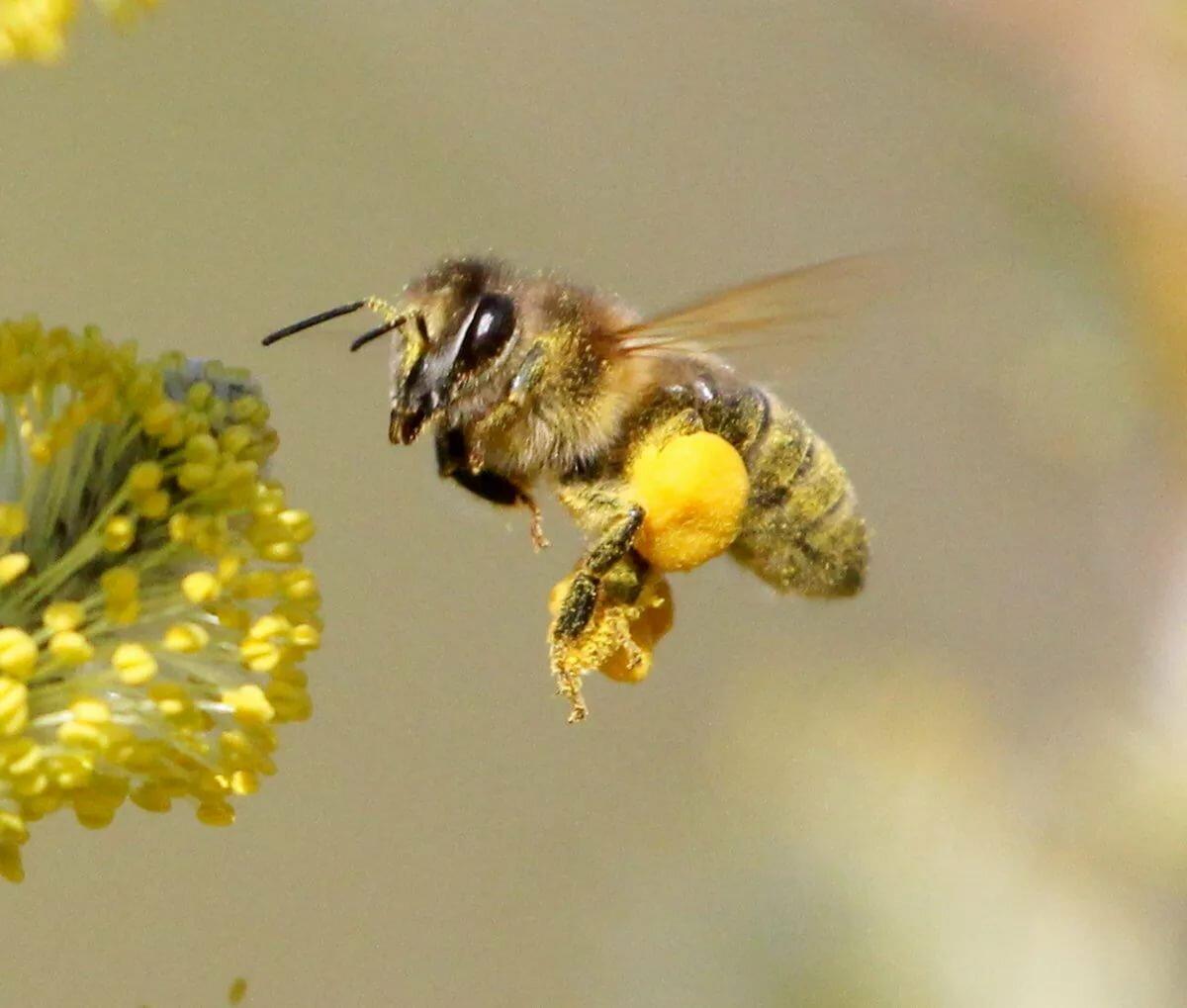 виды русская пчела картинки этим названием