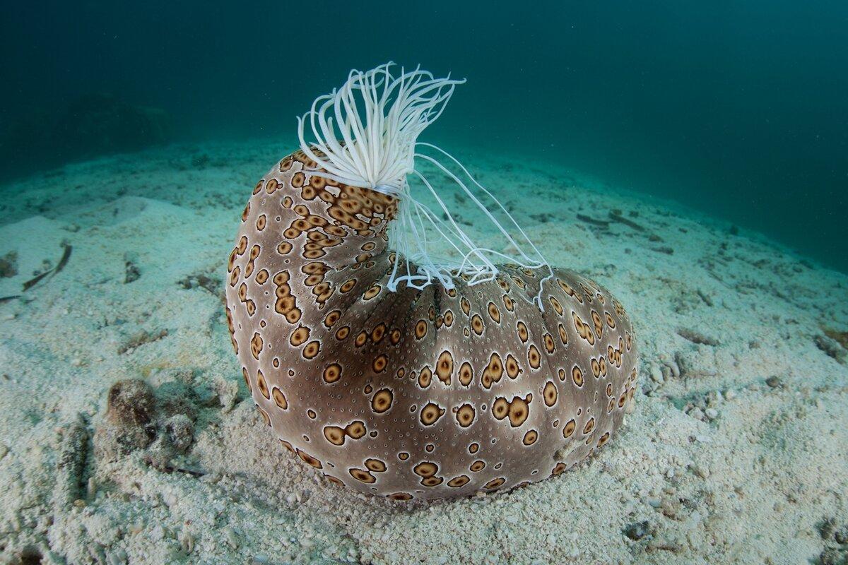фото морского огурца животного ярко выглядит