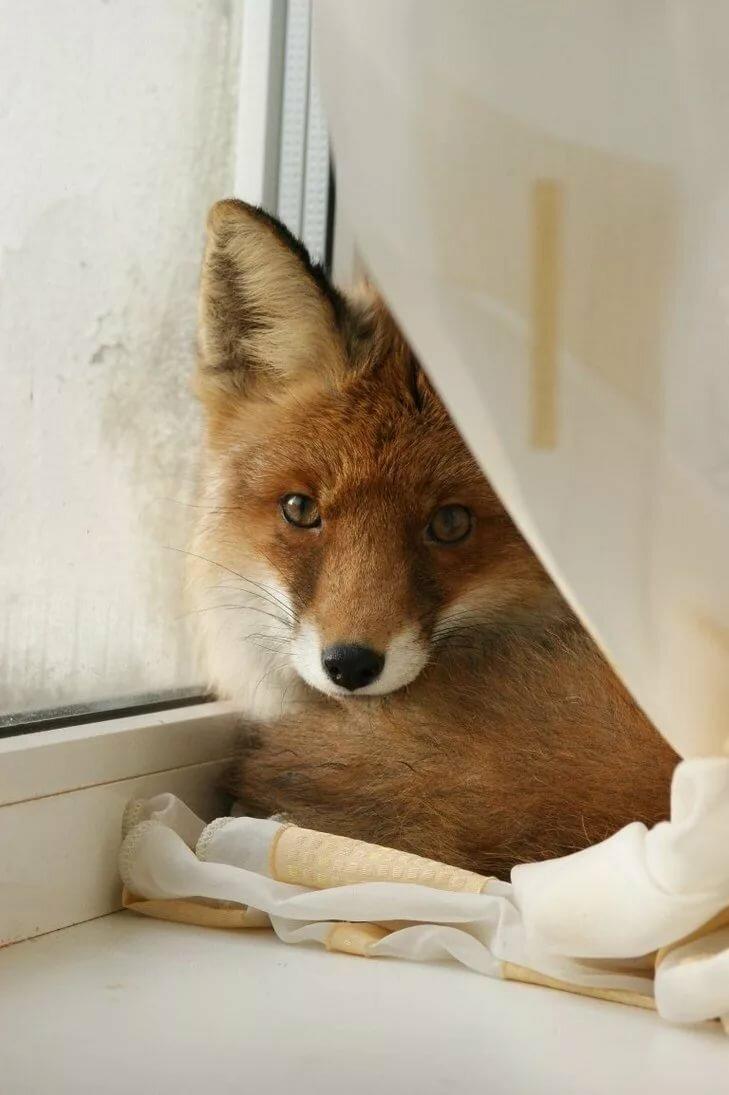 Картинки я люблю волка от лисы выпечки