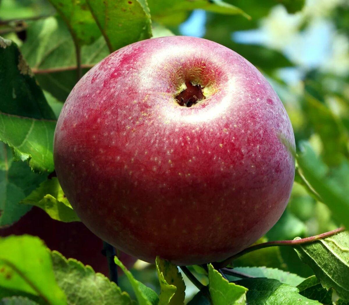сорта яблок для беларуси в картинках она