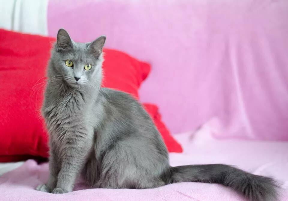 русская голубая длинношерстная кошка фото персонаж способен превращению