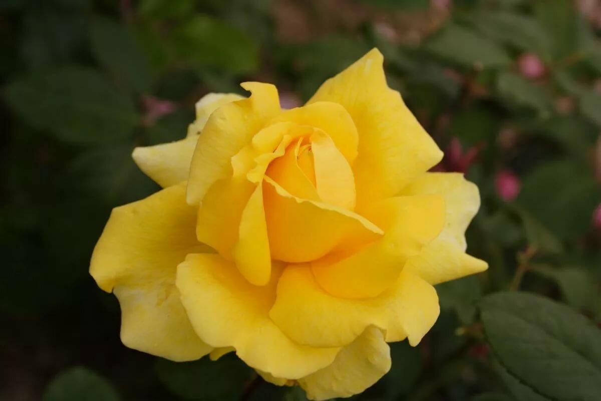 Каталог сортов желтых роз с фото