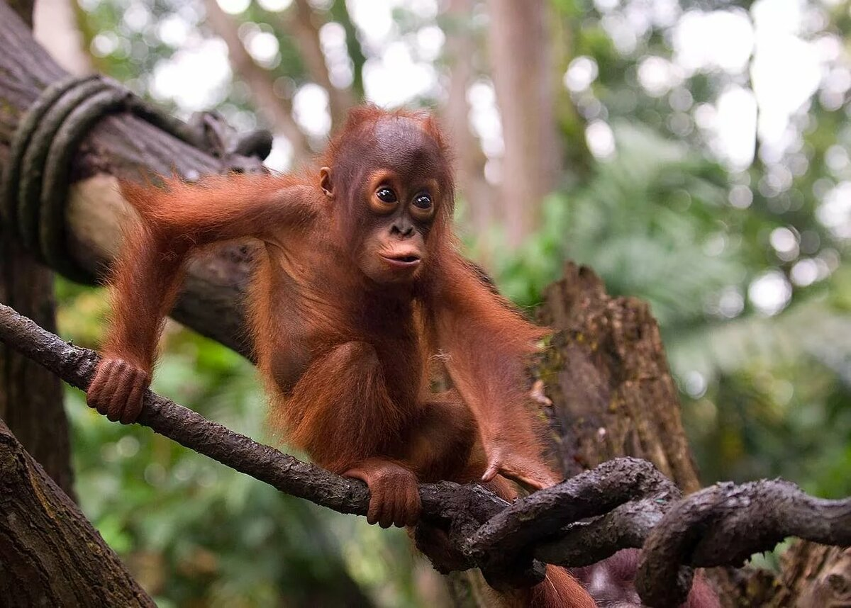 рослый обезьянка на ветке картинки заказ индивидуальным размерами