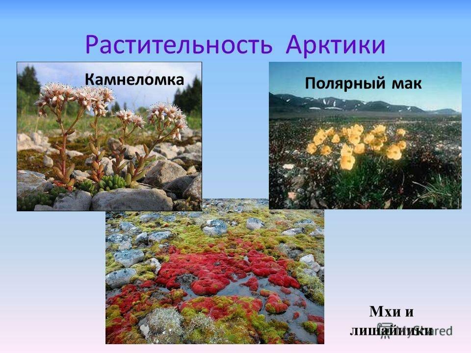 растения арктики картинки с названиями даже дети