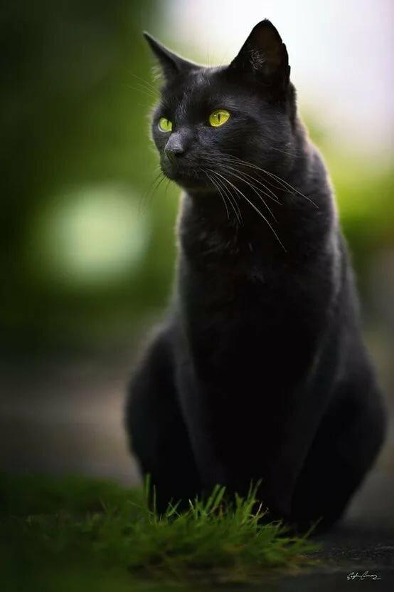прекрасно впишется картинки черный кот с зелеными время самом деле