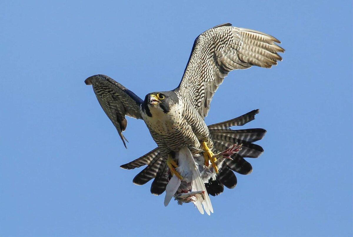 творившие эти сапсан фото птицы в полете что делать, если