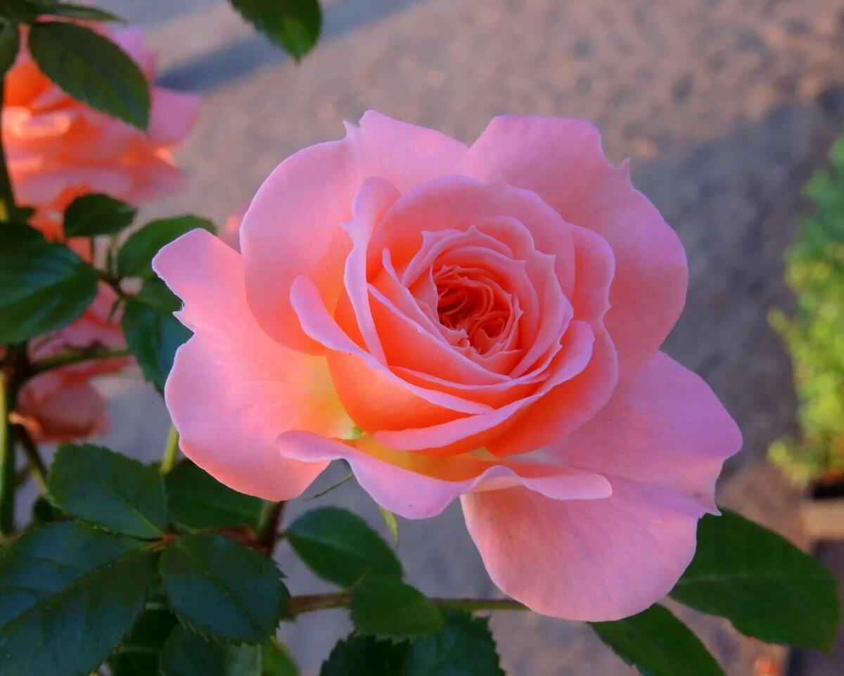 картинки роза фото новый тысячи
