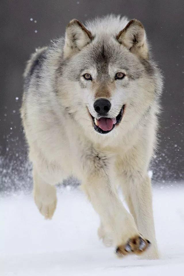 волк фото на айфон сравнения добавлю фото