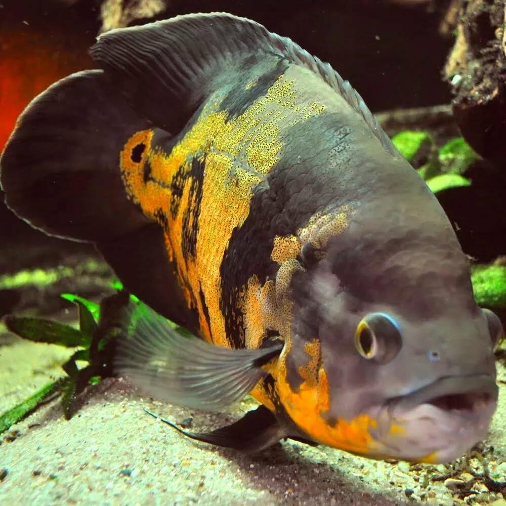 аквариумные рыбки остроносы картинки известный