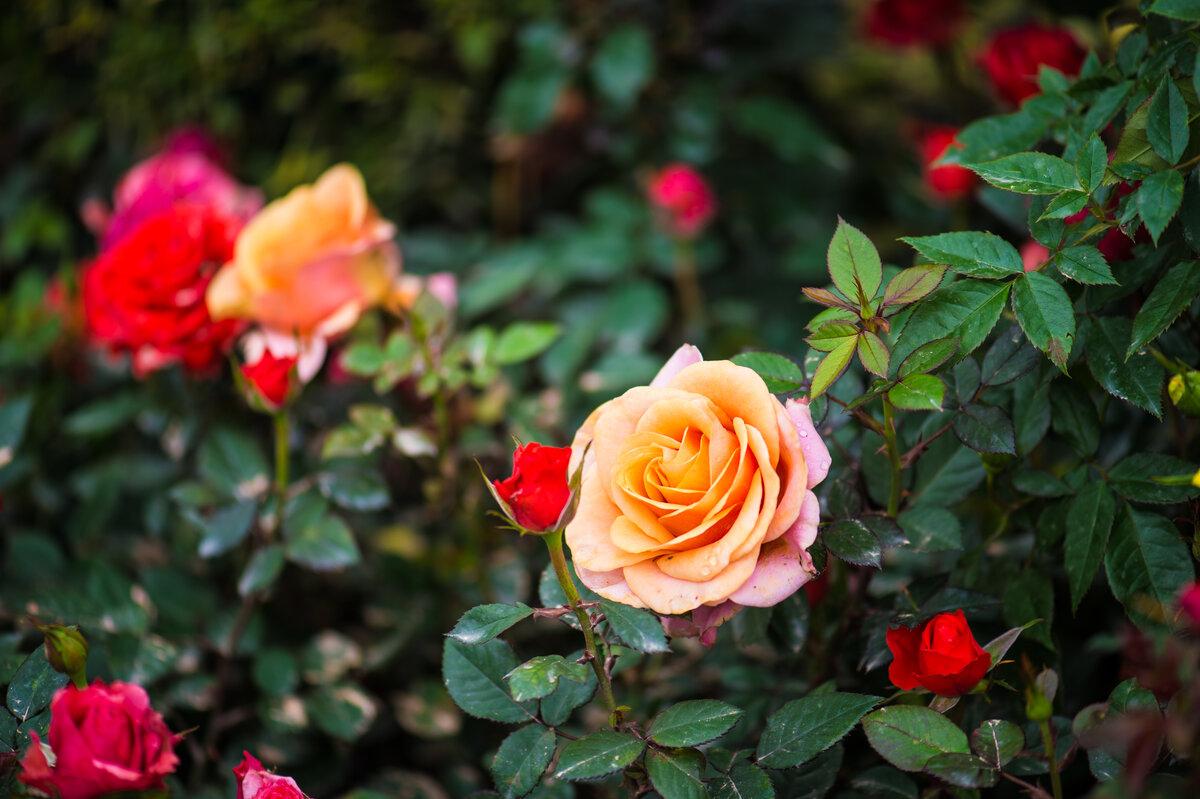 Кусты роз в саду картинки