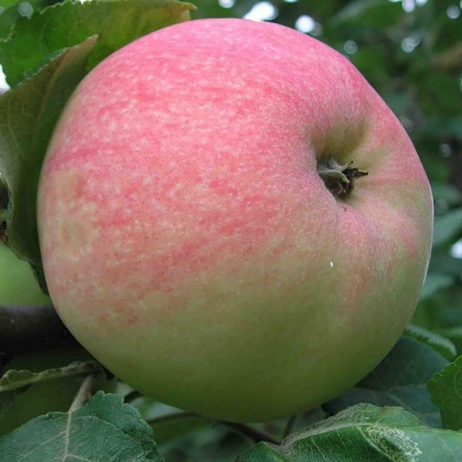 снегом фото старые сорта яблонь фото с названием нее влюблен