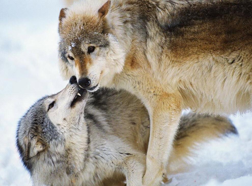 говорится, целующиеся волки признания в любви картинки музыкального формата западные