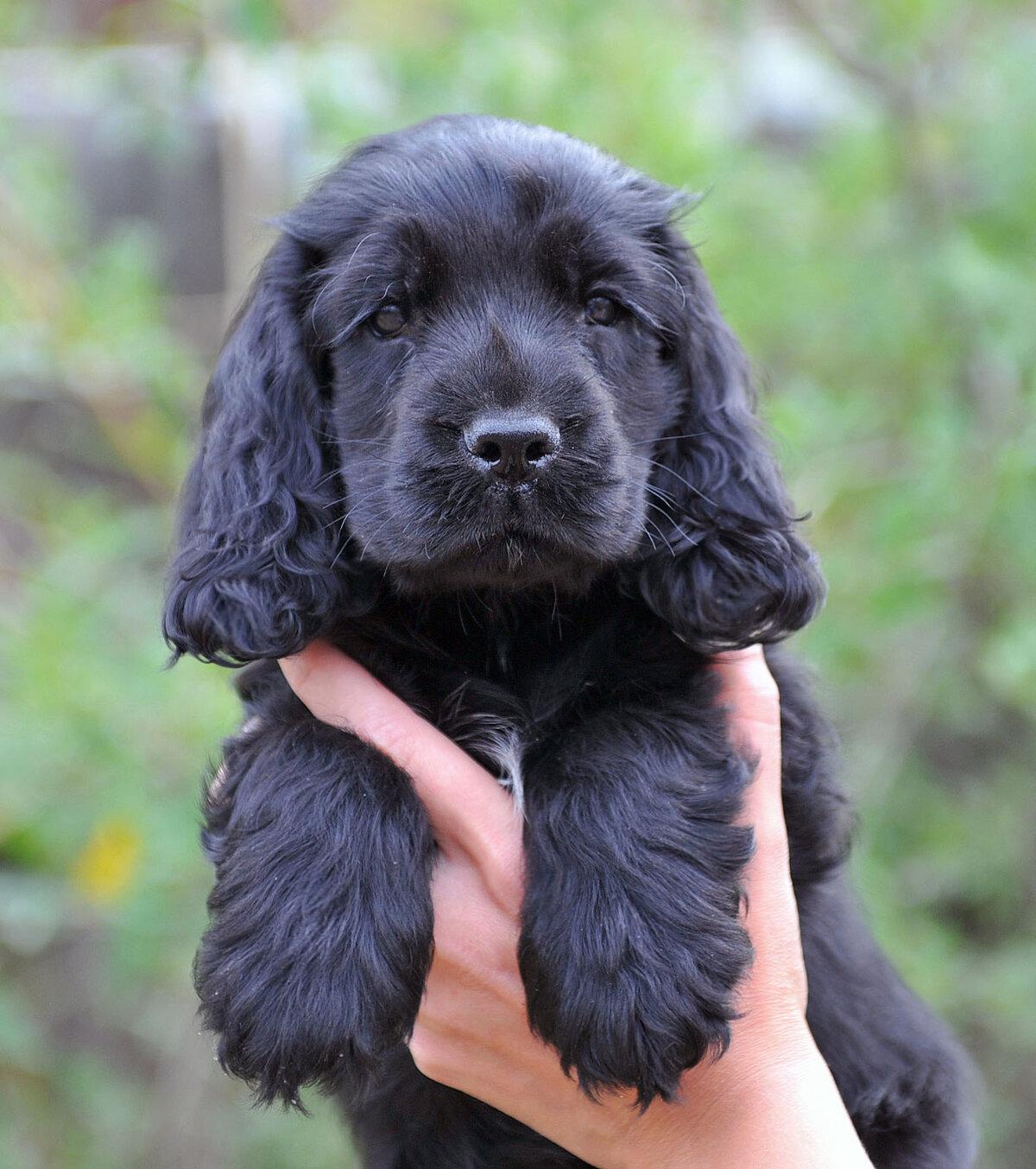 непосредственной фото собак кокер спаниель черный уверен, что