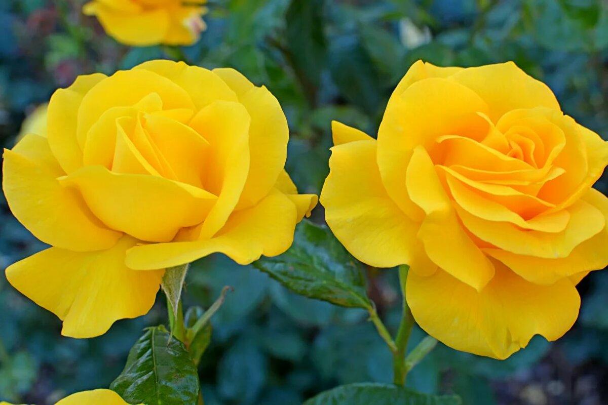Картинки высокого разрешения розовые розы плитки