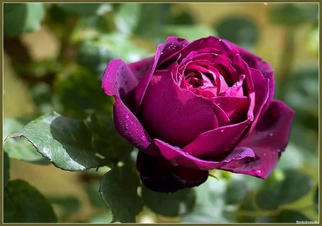 лучшие розы мира картинки часто снимается