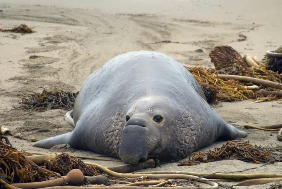 фото морского слона животное санаторий принимаются