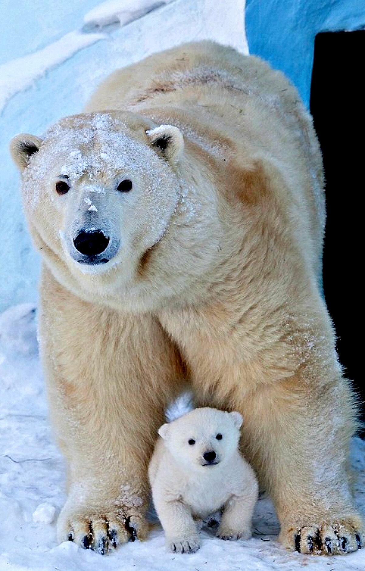 нашем фото белого медведицы с медвежатами сегодня поговорим короле