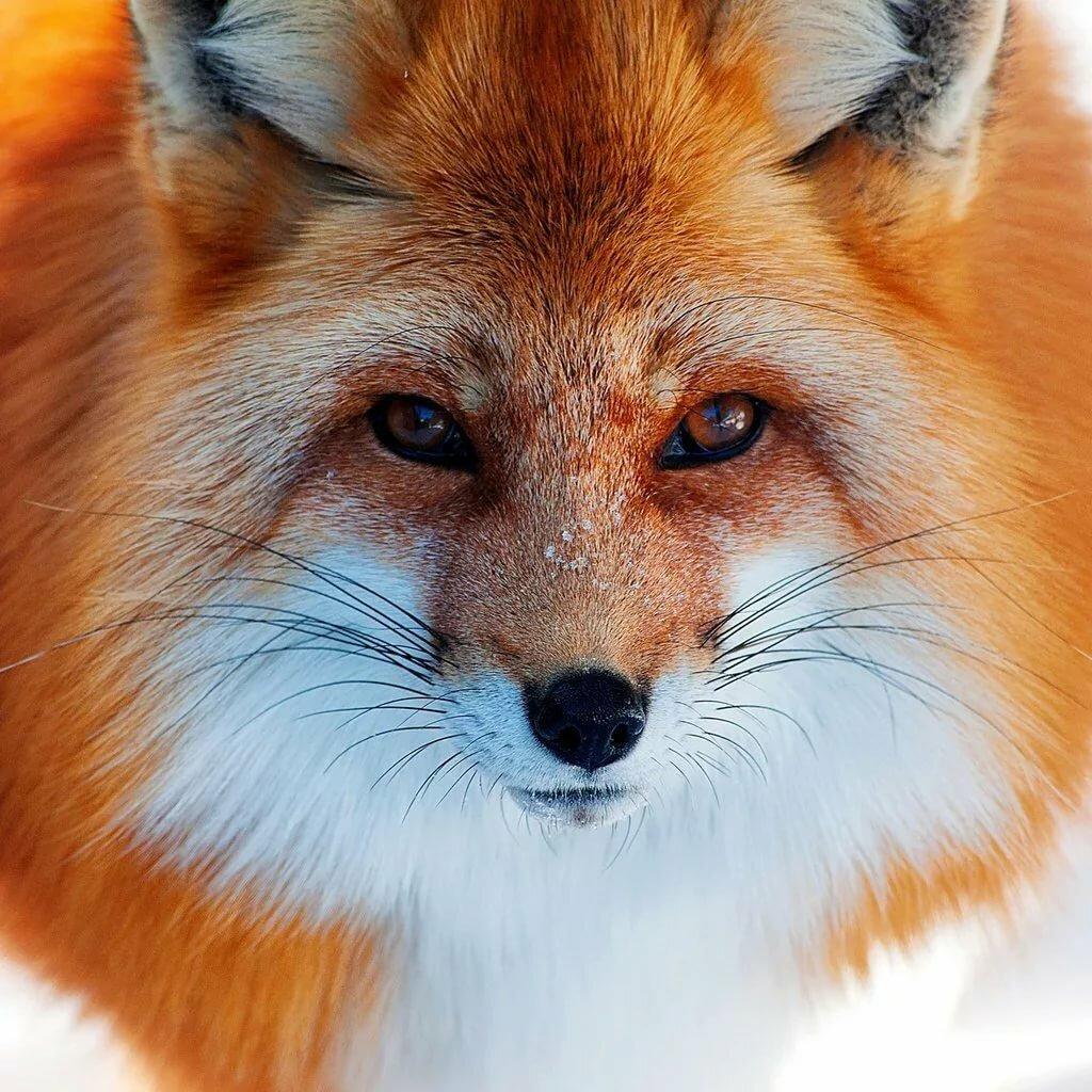 имеющим смотреть картинки про лису без