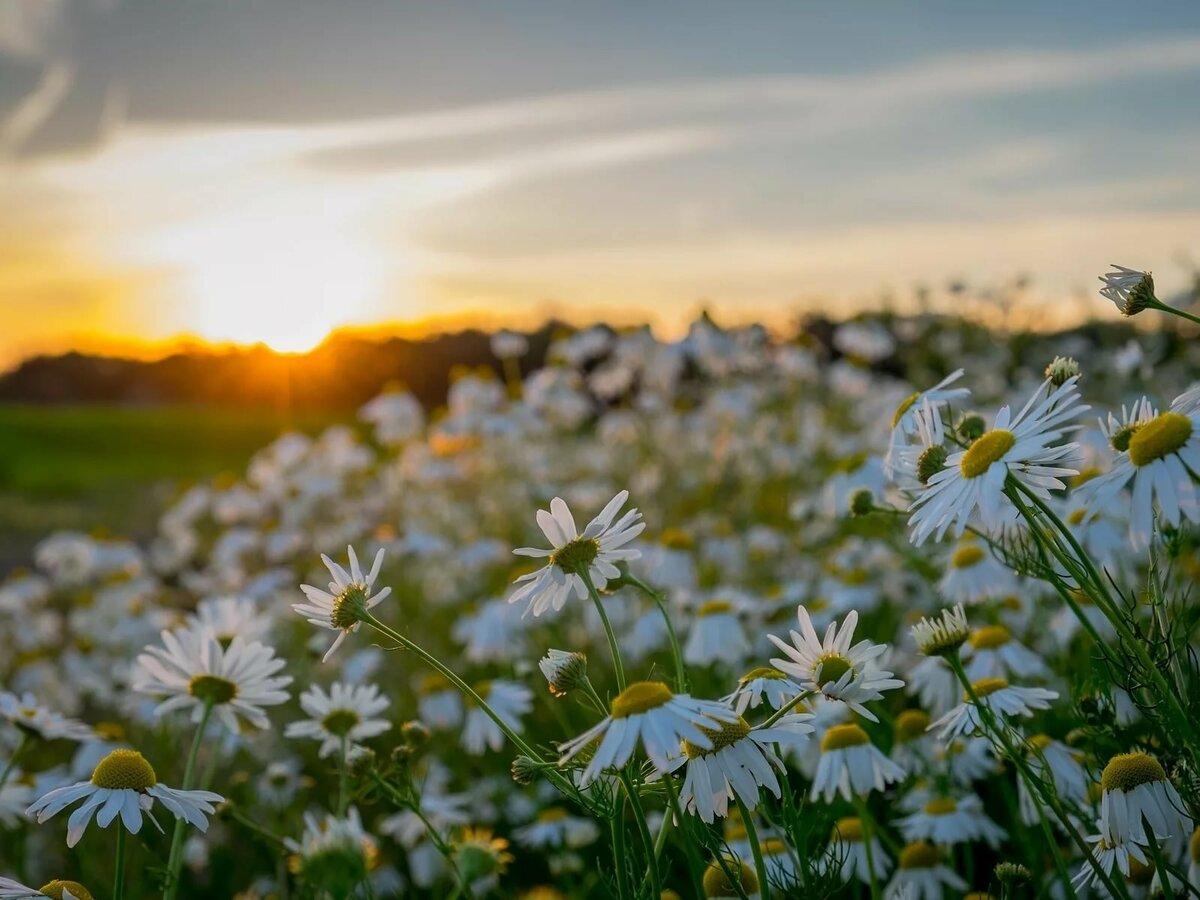 трилогии властелин картинки с добрым вечером с видом на солнечное поле ромашек перед тем как